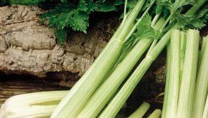 Как вырастить черешковый сельдерей в открытом грунте?