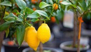 Как вырастить лимонное дерево в домашних условиях?