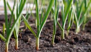 Какие овощи можно посадить рядом с чесноком?