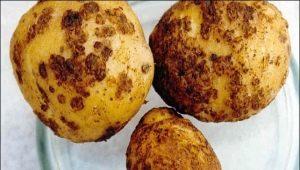 Картофельная нематода: описание вредителя и методы борьбы