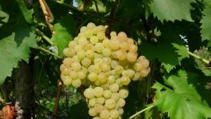 «Кишмиш»: описание, разновидности и свойства винограда
