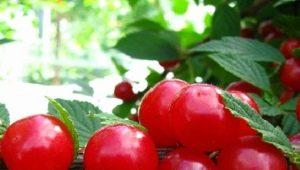 «Китайская» вишня: характеристика сорта и особенности ухода
