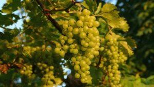 Когда и как посадить виноград, чтобы получить в перспективе урожайную лозу?