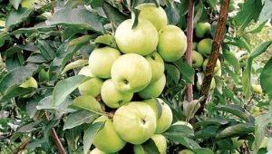 Колоновидная яблоня «Медок»: характеристика сорта, посадка и уход