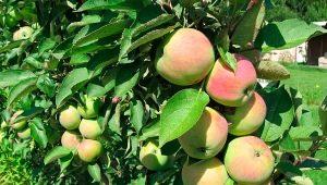 Колоновидная яблоня «Президент»: описание сорта, посадка и уход
