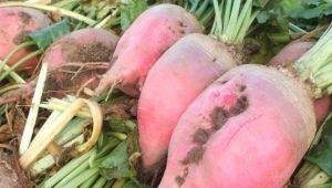 Кормовая свекла: характеристика и правила выращивания