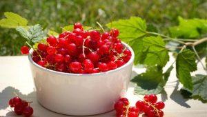 Красная смородина: лучшие сорта и рецепты приготовления