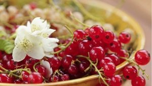 Красная смородина «Сахарная»: характеристика и агротехника