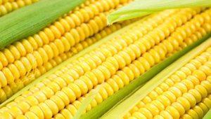 Кукуруза: виды, польза и вред растения