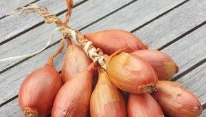 Лук-шалот: особенности, выращивание и применение