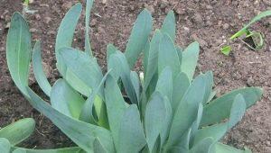 Лук-слизун: особенности и процесс выращивания