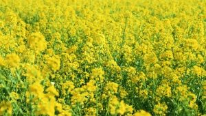Масличная редька: сфера применения и агротехника