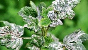 Меры борьбы с мучнистой росой на смородине