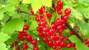 Методы борьбы с болезнями и вредителями красной смородины