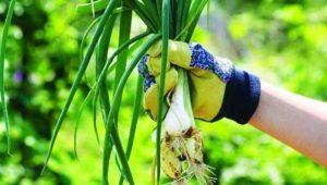 Многолетний лук: популярные сорта и секреты выращивания от садоводов