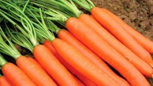 Морковь «Император»: как сажать и ухаживать?