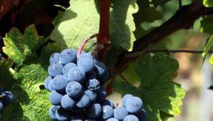 Обрезка винограда: как и зачем проводить весной, нужно ли подрезать в другие сезоны?