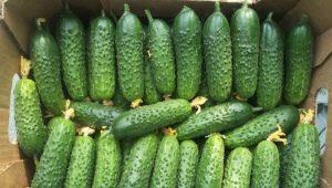 Огурцы «Герман F1»: описание сорта и выращивание