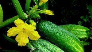 Огурец «Изящный»: особенности сорта и агротехника