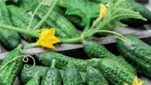 Огурец «Парижский корнишон»: описание сорта и рекомендации по выращиванию