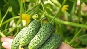 Огурец «Шоша F1»: характеристика и особенности выращивания