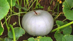 Описание и выращивание сорта тыквы «Крошка»