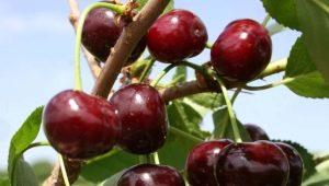 Описание и выращивание сорта вишни «Жуковская»