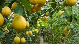 Описание разных сортов лимона и правила их разведения