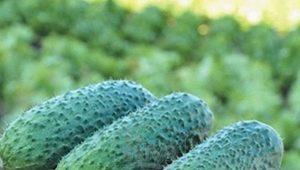 Описание сорта огурцов «Конкурент» и советы по выращиванию