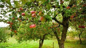 Описание сорта яблони «Орлинка», посадка и уход