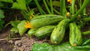 Особенности посадки кабачков рассадой в открытый грунт