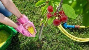 Питание для вишни: что нужно молодому и взрослому растению?