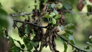 Почему листья на груше чернеют?