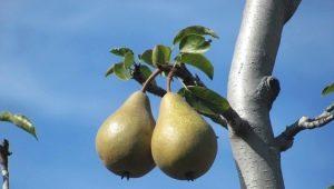 Почему не цветет и не плодоносит груша?