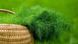 Почему не растет укроп на огороде?