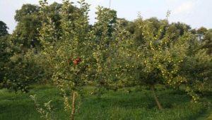 Правила подкормки яблонь и груш