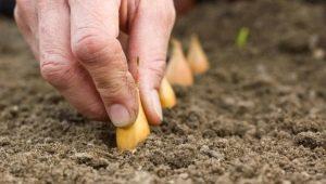 Правила посадки лука-севка в открытый грунт