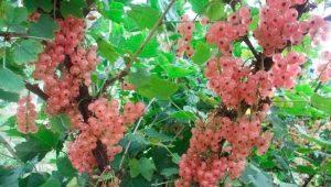 Розовая смородина: описание сортов и их выращивание
