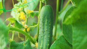 Секреты выращивания огурцов в открытом грунте
