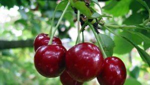 Секреты выращивания вишни сорта «Владимирская»