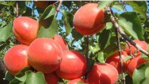 Сорта абрикосов: характеристики и рекомендации по выбору