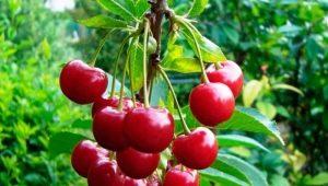 Сорта вишни: обзор и советы по выбору