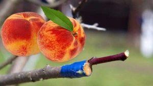 Тонкости прививки абрикоса