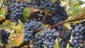 Виноград «Аттика»: особенности сорта и выращивание