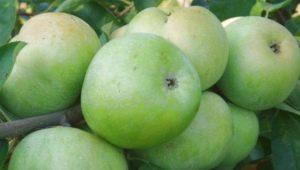 """Яблоки """"Ренет Семеренко"""": описание сорта, калорийность и выращивание"""