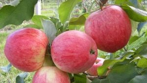 Яблоня «Башкирский красавец»: описание сорта и особенности посадки