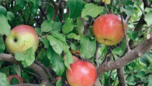 Яблоня «Чудное»: достоинства и недостатки сорта, советы по агротехнике