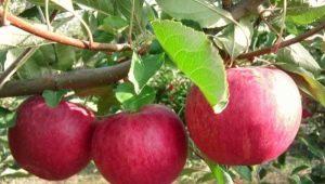 Яблоня «Слава победителям»: описание сорта, посадка и уход