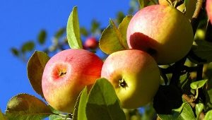 Яблоня «Солнцедар»: описание плодов и тонкости посадки
