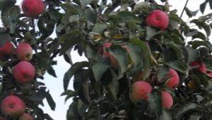 Яблоня «Желанное»: описание сорта и советы по агротехнике